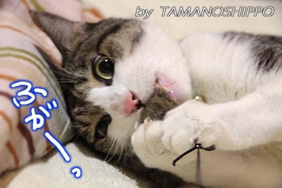 おもちゃに噛み付く猫2532