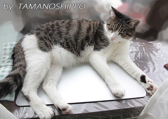プレートの上で寝るネコ6286