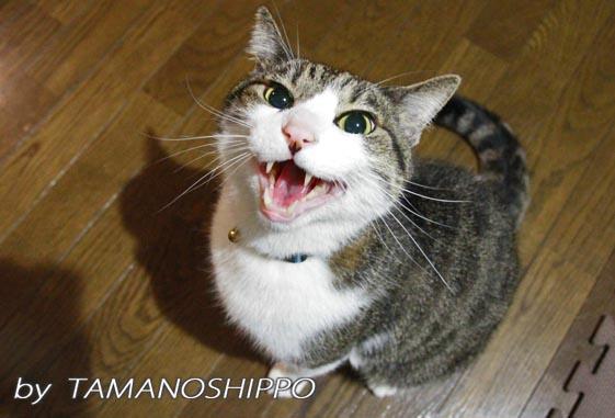 怒鳴っている猫5609