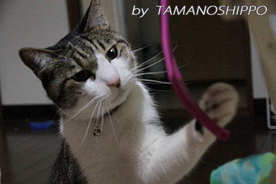 チューブをおもちゃにする猫6270