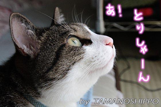 鳥を見つめる猫6984