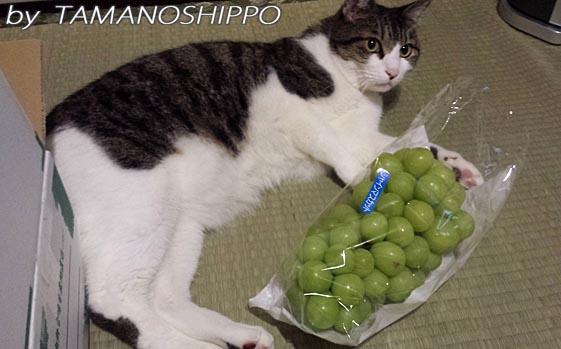 葡萄と猫(背比べ?)20130916
