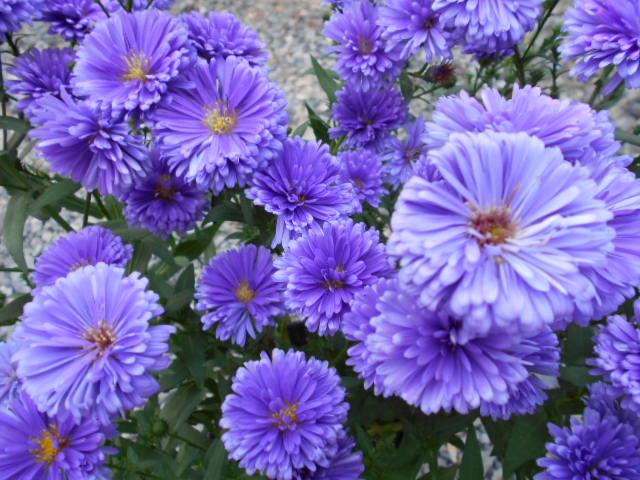 クジャクアスター・青紫