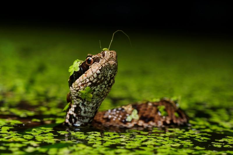 ニホンマムシ Gloydius blomhoffii