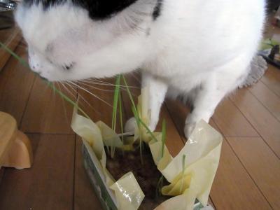 2食べる猫草