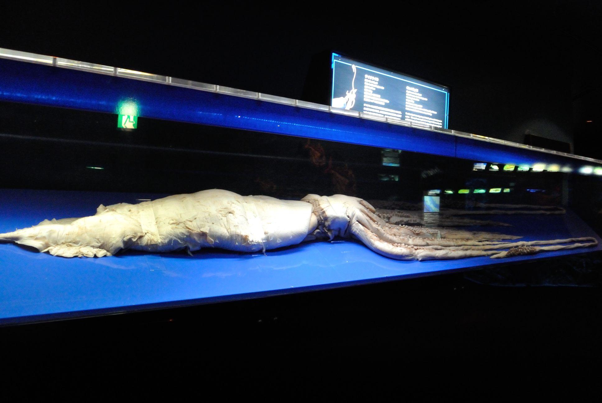 大王イカの標本