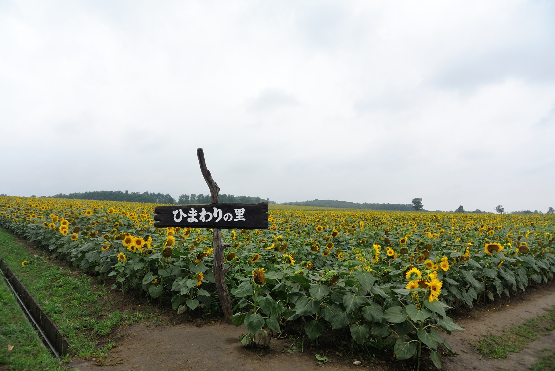 日本一のひまわり畑