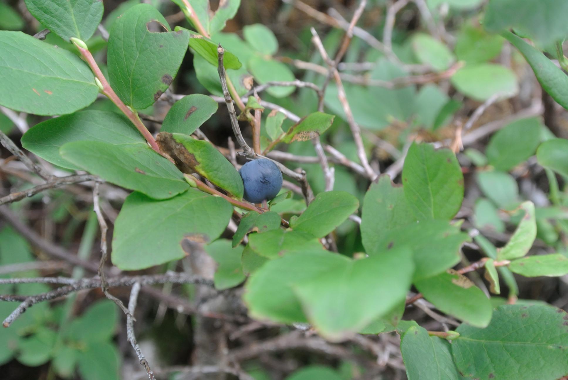 ブルーベリーの原種?