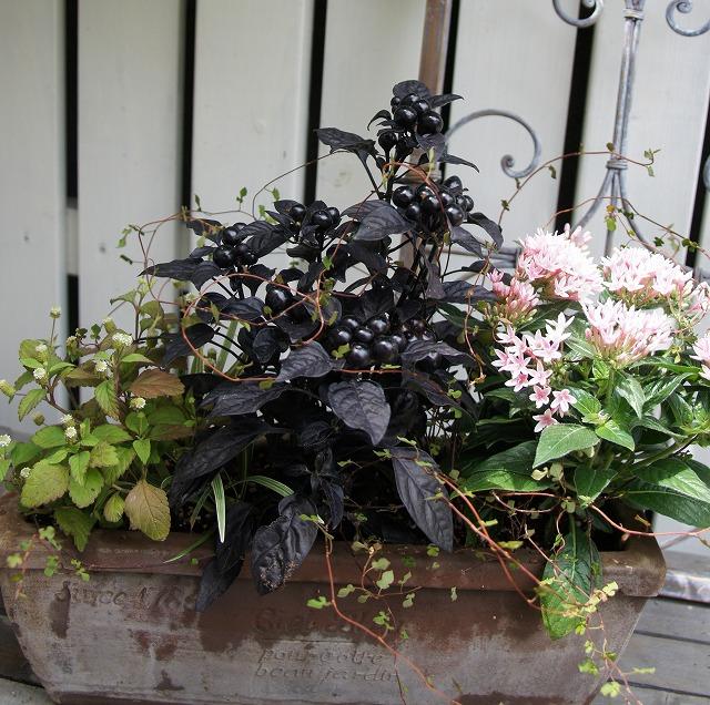 トウガラシ寄せ植え