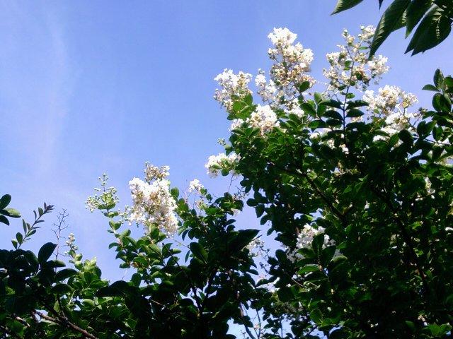 白いブーゲンビリア2