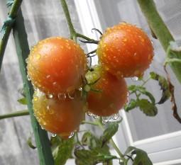 トマト13-11