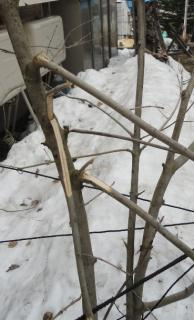 アオダモの枝折れ