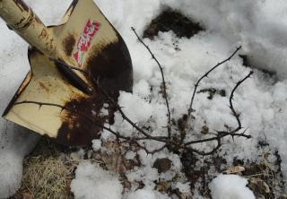 雪から出てきたサンショ