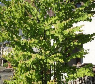 2013春 カツラの葉っぱアップ