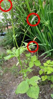 2013 ミツバにむらがるイモムシ
