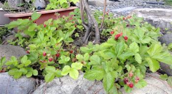 2013 不調ツリバナの下で野イチゴは元気いっぱい