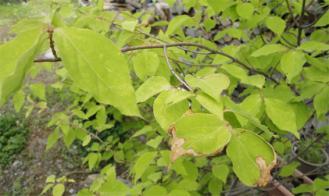 ツリバナの葉っぱ 乾燥気味