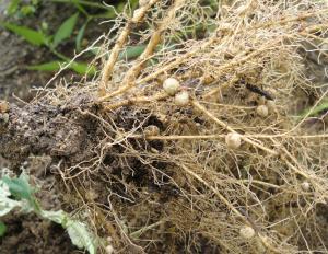 枝豆の根粒細菌
