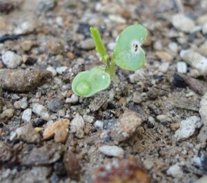 201309 芽を出した水菜
