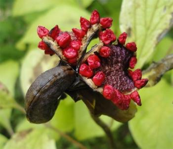 ヤマシャクヤクの種子アップ
