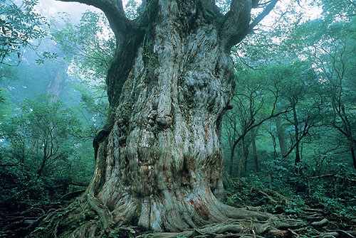 縄文杉~1