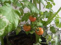 1306-tomato2.jpg