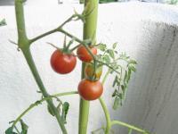 1307-tomato.jpg
