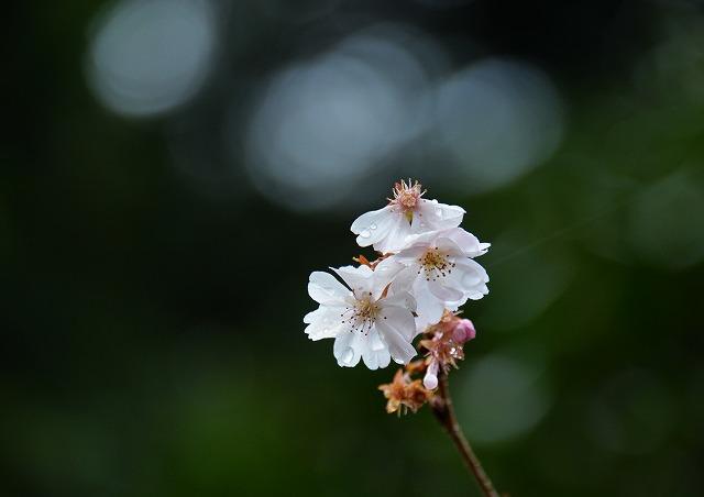 10月桜3