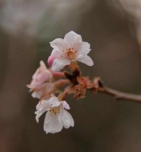10月桜7