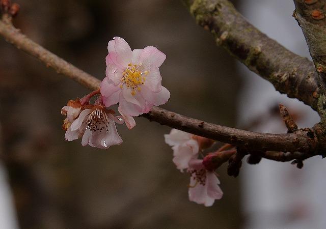 10月桜6