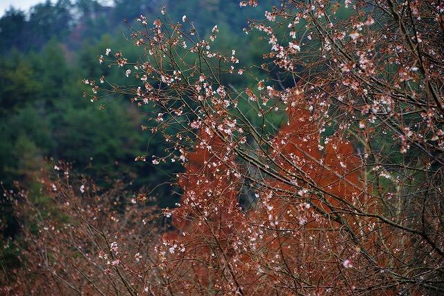 10月桜8