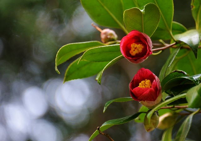 10月桜 10