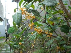 雨の金木犀1