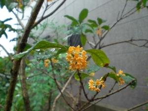 雨の金木犀2
