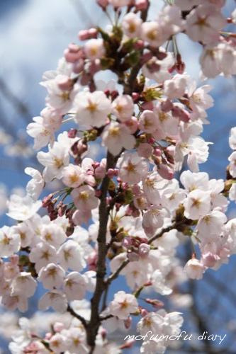 2013桜4の1