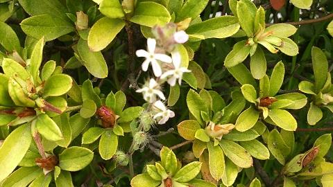 白花マンテマ