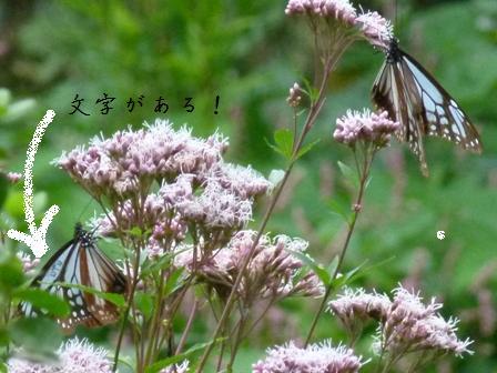 2013.10.15蝶とエナガ 064