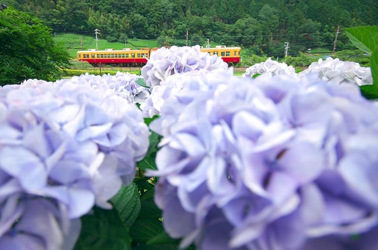 川根路…紫陽花の咲く頃