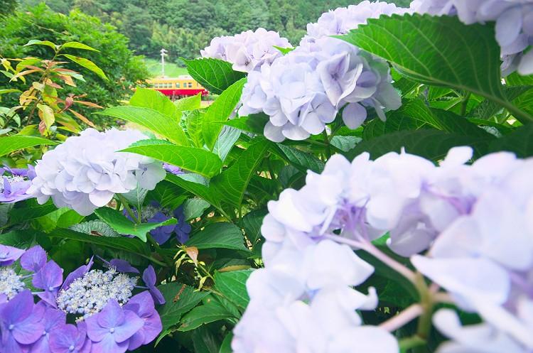 川根路…紫陽花の咲く頃 2