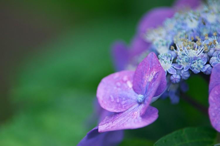 紫陽花が咲く頃 2