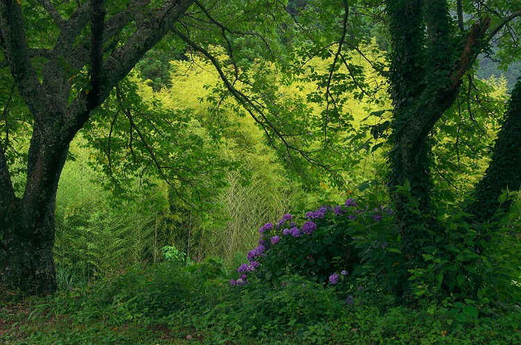 紫陽花が咲く頃 4