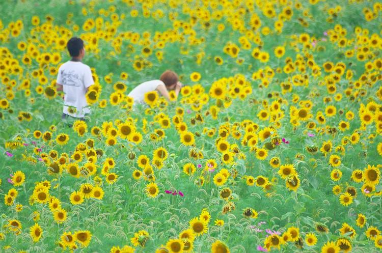 シオーネに向日葵が咲く頃 2