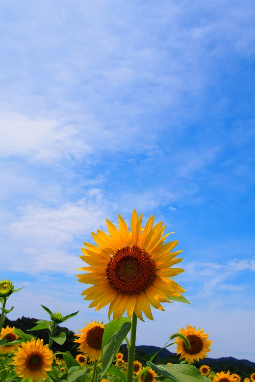 シオーネに向日葵が咲く頃 3