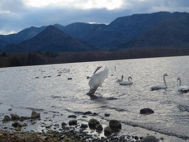 白鳥 (5)