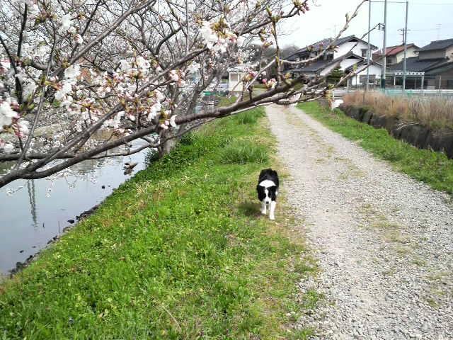 土手の桜へ~トコトコトコ...♪