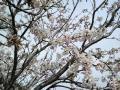 土手の桜の木