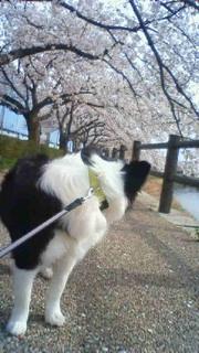 桜土手~たこ焼~~♪