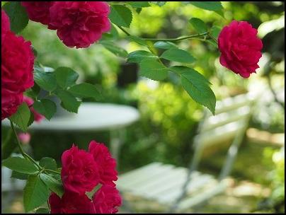 ルージュ色の薔薇