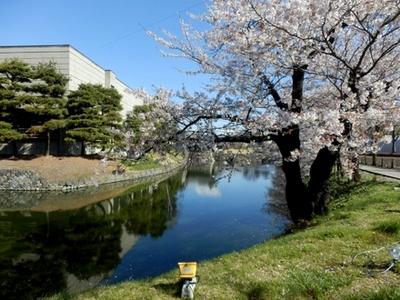 松本城桜 (12)