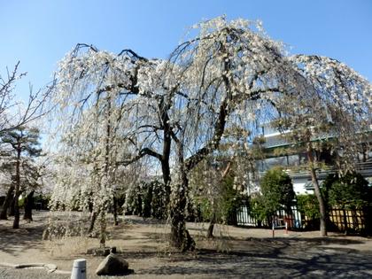 松本城桜 (51)